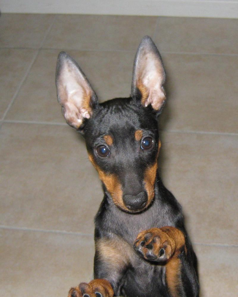 English toy terrier dog breeds picture for English terrier