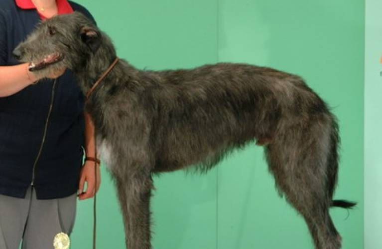 Deerhound
