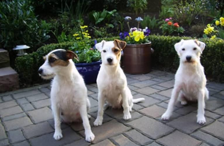 Parson Russell Terrier » VDH Rasselexikon 2020