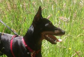 English Toy Terrier (Black and Tan)