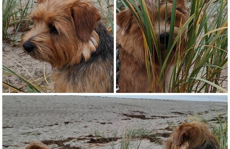 Norfolk Terrier Puppies Breed Information Puppies For Sale