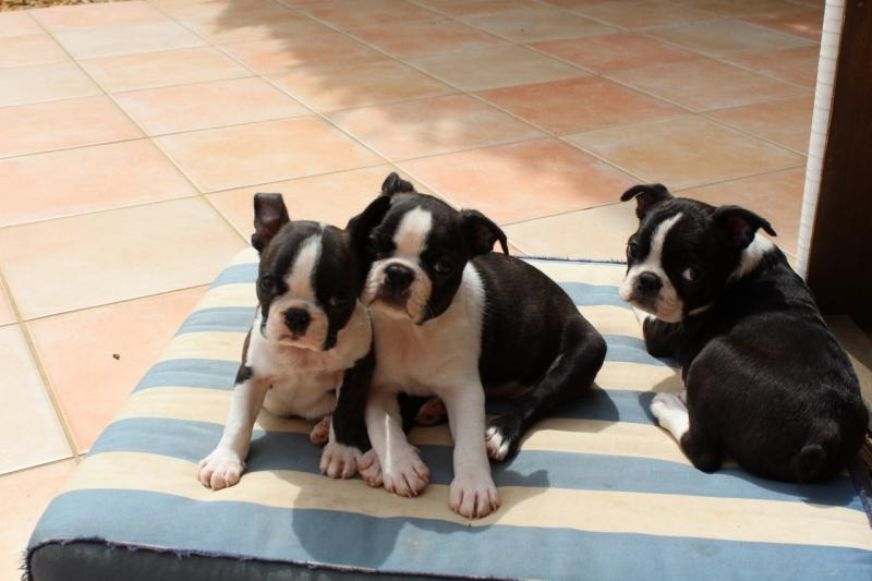 Boston Terrier Vereine Zuchter Vdh De