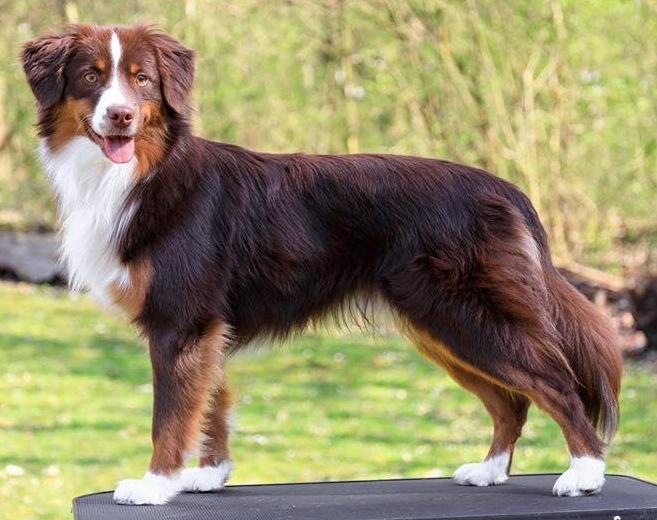 3 316 Australian Shepherd Photos And Premium High Res Pictures Getty Images