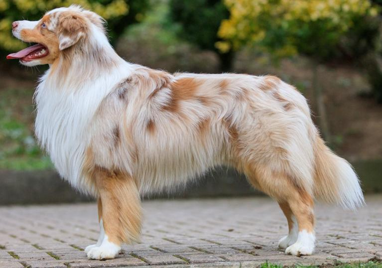 Miniature American Shepherd (nationale Rasse)